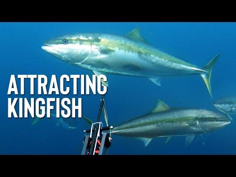 SPEARFISHING TIPS - Attracting Kingfish