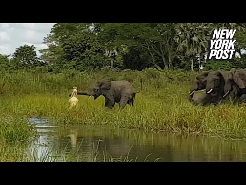 Crocodile puts death grip on elephant's trunk in brutal fight
