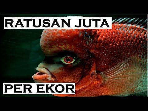 Jenis Louhan Termahal Didunia | Pecinta Ikan Hias Wajib Nonton