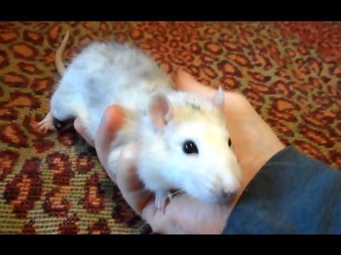 Домашние декоративные крысы