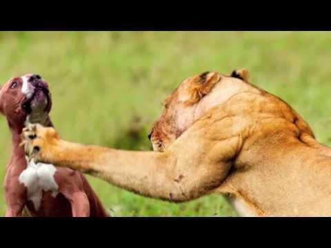 Chó pitbull VS Sư tử - LION VS  PIT BULL - FUNNY VIDEO !!!