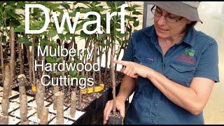 Dwarf Mulberry Tree Using Hardwood Cuttings