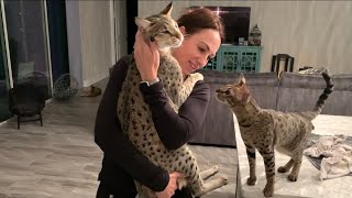 Giving Big Cat Kumba And Zara Lovins After Coming Home From Work! #cute #cat #video