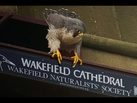 Wakefield Peregrine Falcon Project - Live Nest Cam