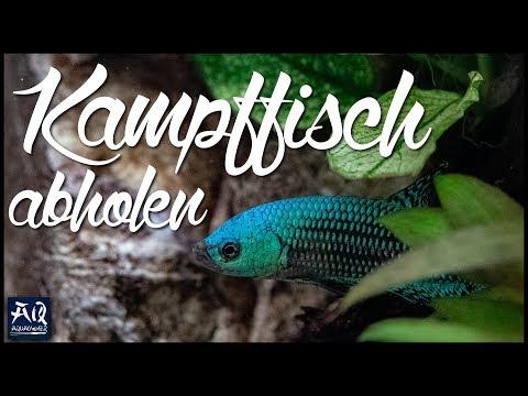 Kampffisch Aus Thailand | AquaOwner