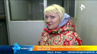 Пара черных лебедей в Калужской области воссоединилась
