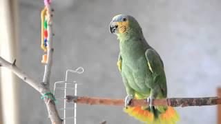 Говорящие попугаи видео, Венесуэльский Амазон Боря
