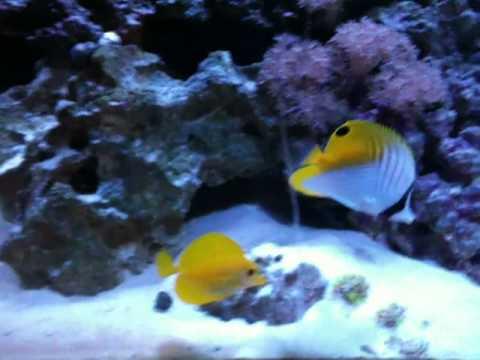 Introduction Of My Chaetodon Auriga Into My Solana Aquarium