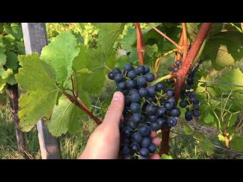 Blaufränkisch grapes ripening at Weninger