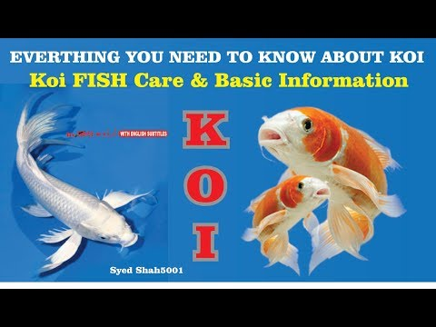 Koi Fish Everything You Need To Know How To Keep Koi Fish (fish Care)