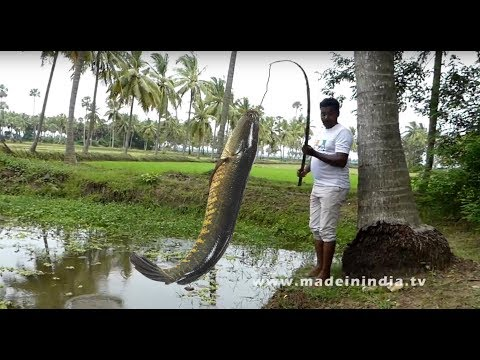 ##CATCHING AND COOKING MURREL FISH RECIPE | KORRAMENU KURA