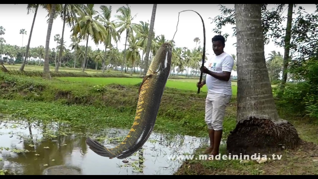 #CATCHING AND COOKING | MURREL FISH RECIPE | KORRAMENU KURA street food