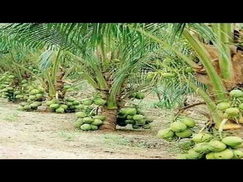 WOW! Amazing New Agriculture Technology - Coconut tree