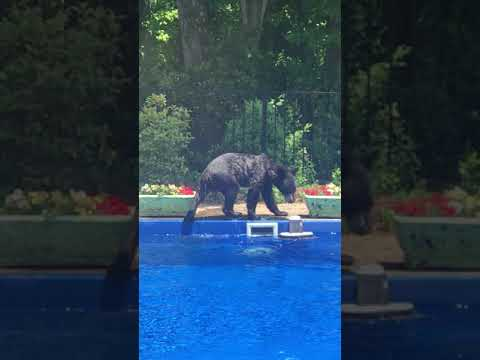 Jones and Company - Bear Takes a Swim in a Family Pool!