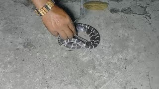 Very Aggressive Common Krait late Night Moment Rescue by Mobarak snake saver
