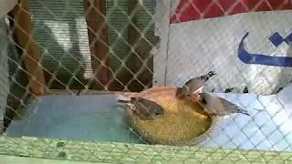 ZEBRA FINCHES SMALL SETUP BEGINNING IN URDU