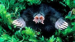 Star Nosed Mole - Curious Creatures