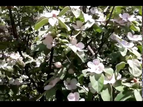 Айва японская: выращивание, размножение, использование