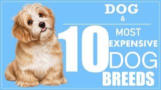 Dog | Top 10 most expensive dog breeds