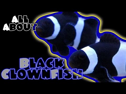 All About The Black And White Percula Or Ocellaris Clownfish