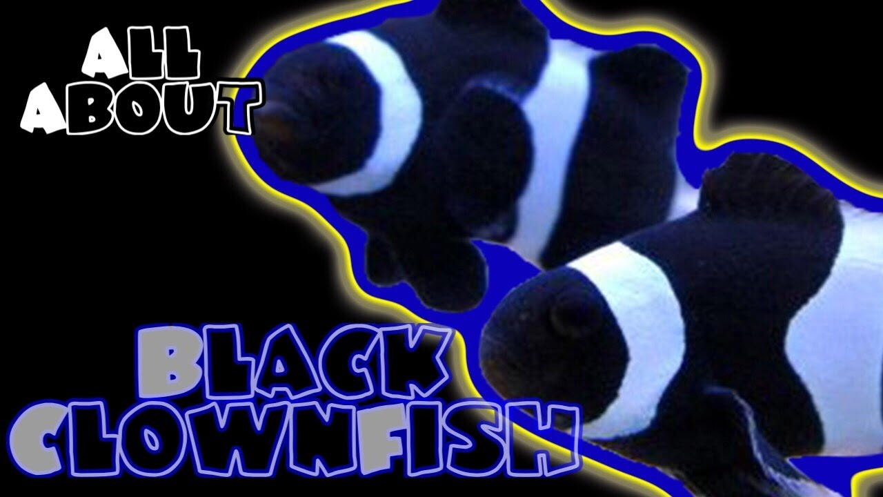 all about the black and white percula or ocellaris clownfish youtube