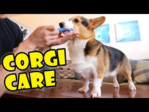 caring-for-corgis?-things-to-get!-||-extra-after-college