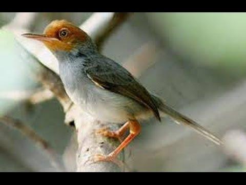 Burung Master : Prenjak Kepala Merah Gacor