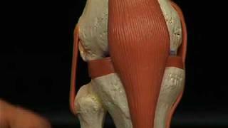 a82 1 la articulacin de la rodilla