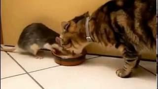 крыса отнимает еду у кошки