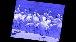 Royal blue flamingos.wmv