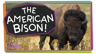 Meet the American Bison!