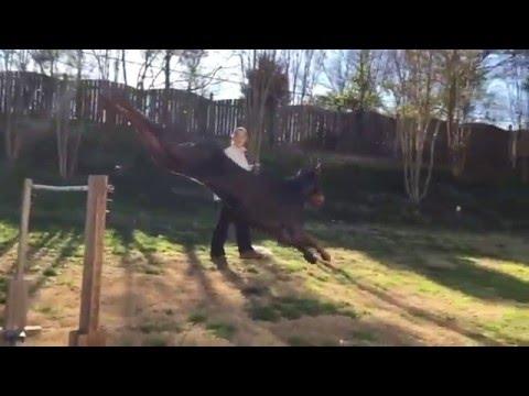 Doberman Jumping Big