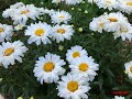 HOW TO TAKE CARE OF SHASTA DAISIES PLANTS