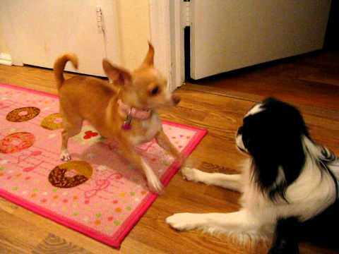 Japanese Chin Plays with Chihuahua
