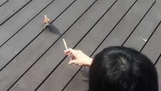 庭に落ちていたヒナを育ててみました。放鳥したあとも、毎朝餌を食べに...
