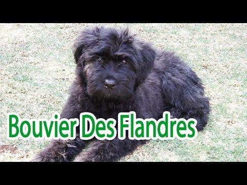 Bouvier Des Flandres Breed