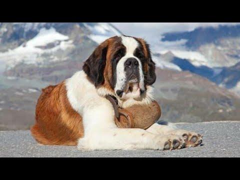 Saint Bernard Dog 🐕... Deeg Bharatpur Rajasthan St. Bernard (Dog Breed),Bruno,Dog (Domesticated)...