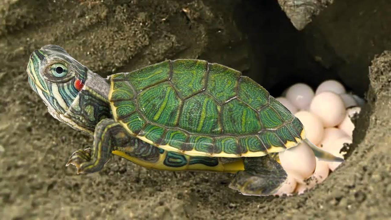 Red Eared Slider Turtle Covering Her Nest And Laying Egg Baby Turtle Hatching Youtube