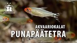 """Akvaario: Punapäätetra eli """"romminokka"""""""
