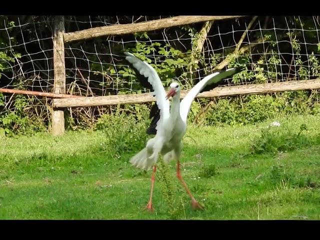 Stork sound /Gólya Kelepelés