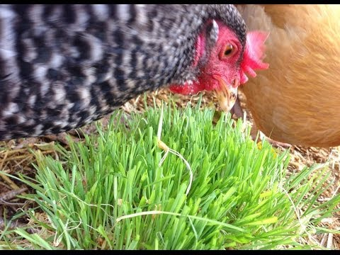 Chickens & Rabbit eating fodder!