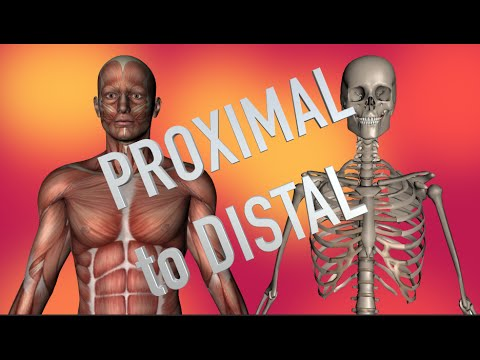 Upper Arm and Elbow Muscles - Proximal to Distal - Kinesiology Quiz ...