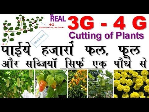 Real 3G-4G cuttings of Plants II असली ३ G और ४ G पौधों की कटिंग, मिलेंगी हज़ारों फल, फ़ूल सब्जीआं