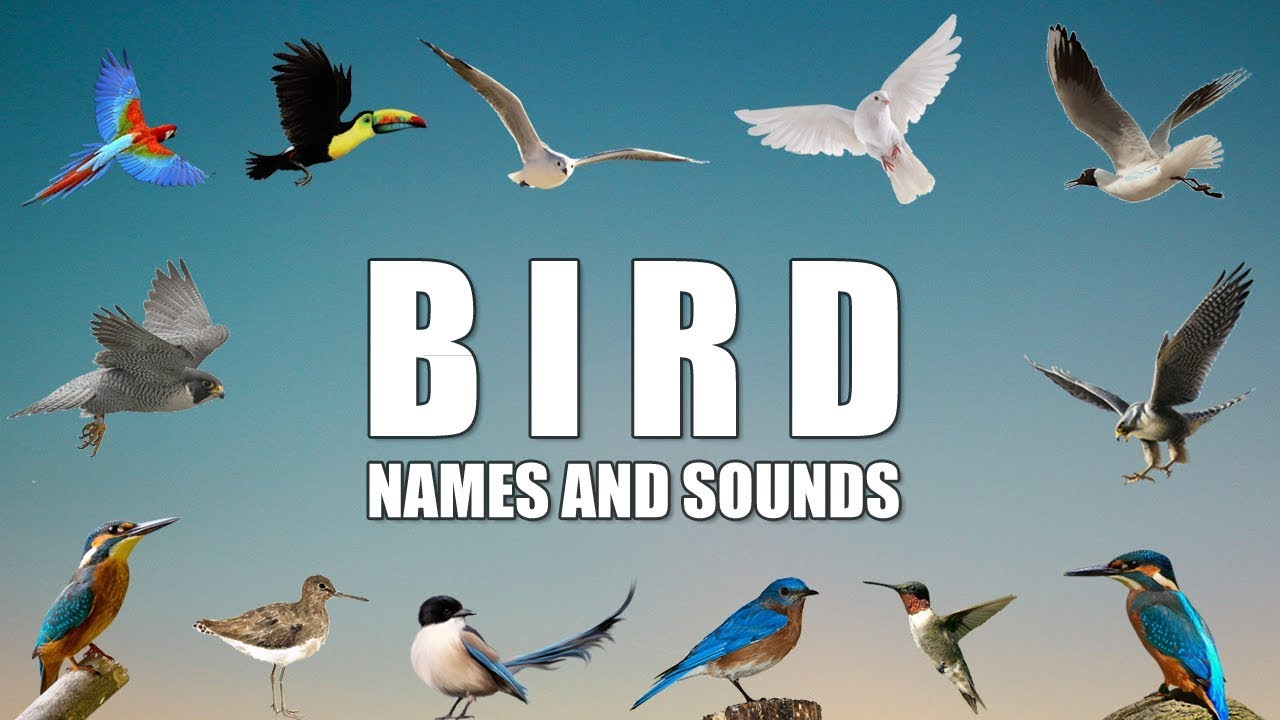 Learn Birds List With Pictures Sounds Names Youtube