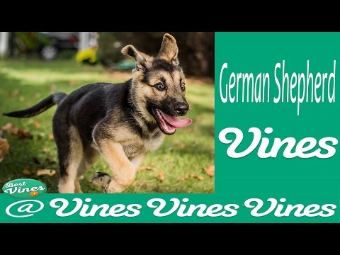 *NEW* German Shepherd Dog Best Funny Vines Compilation   | GSD Are AMAZING !!