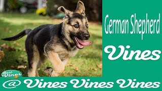 *new* German Shepherd Dog Best Funny Vines Compilation 2015  | Gsd Are Amazing !!