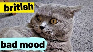 Tom's Funny BAD MOOD - British Shorthair #06
