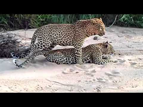 Sex In The Wild- Leopards Mating - Big Cats in Africa.mp4 thumbnail