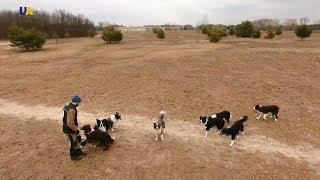 Пастушьи собаки Подлина | Моя земля