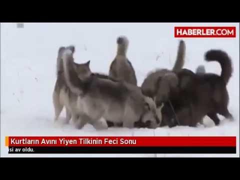 Kurtların Avını Yiyen Tilkinin Feci Sonu   Haberler com